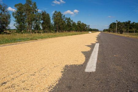 Rice spread to dry on the asphalt in Cuba Stock Photo