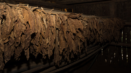 Tobacco leaves in the dryer