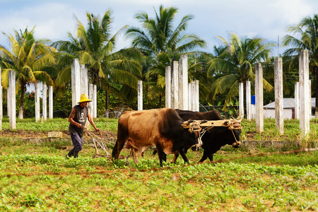 Vinales, Cuba - December 6, 2017: Cuban peasant with oxen plow in the Vinales valley Stock Photo - 93780825
