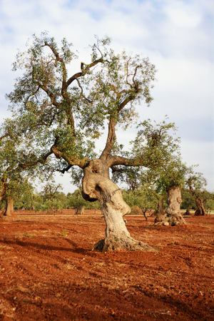Olive tree in the Salento countryside of Puglia