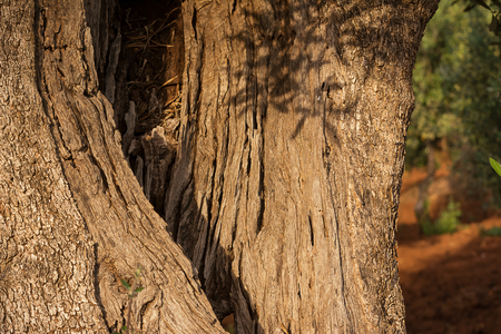 Detail of a hollow trunk of an olive tree Archivio Fotografico