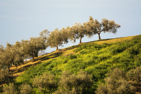 Olive trees in the Abruzzo hills (Italy) Stock Photo