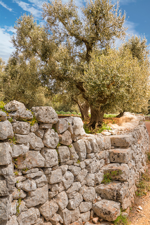 Olive tree and stone wall on a road in the Itria valley in Puglia (Italy)