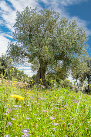 Olive tree in the spring Stock Photo