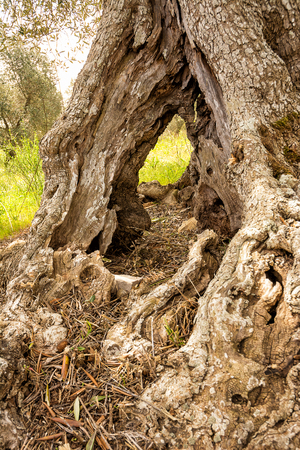 Pitted trunk of an old olive tree (Italy)