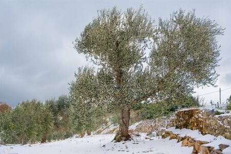 Olive trees in the snowy Apulian countryside (Italy)