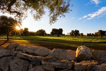 View with the setting sun of the famous Apulian old trees