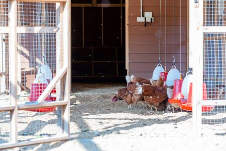 Life On The Farm. Poultry farm on a sunny day. Chickens sit in open-air cages and eat mixed feed. Modern farming concept. Gallus domesticus. Horizontal shot 版權商用圖片