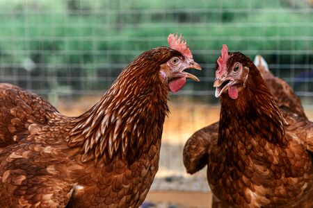 Best eggs were made here. Close up of two hens in a farmyard (Gallus gallus domesticus). Organic farming, animal rights, back to nature concept. Horizontal shot.