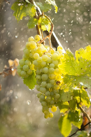 Watering grapes artificial rain at summer Stock Photo - 14620381
