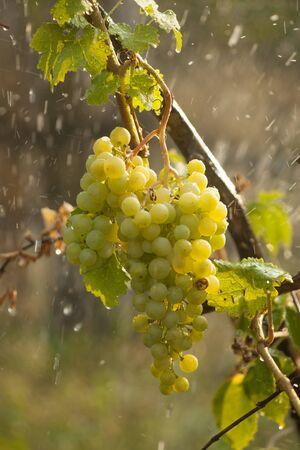 Watering grapes artificial rain at summer Stock Photo - 14620379