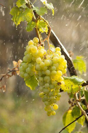 Watering grapes artificial rain at summer Stock Photo - 14620380