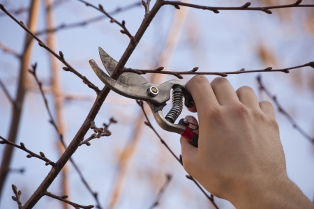 Pruning ein Obstbaum - Schneiden von Ästen im Frühjahr Standard-Bild - 18398770