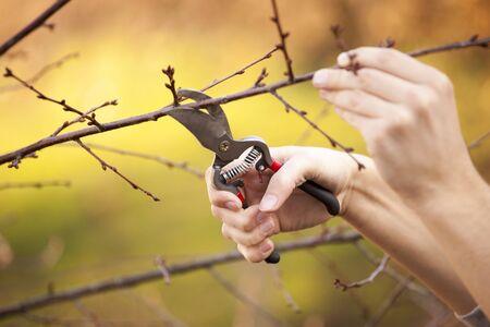boom kappen: Snoeien van een fruitboom - Cutting Takken in de lente