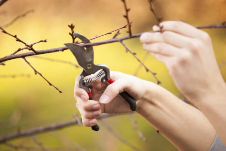 pruning: Pruning an fruit tree - Cutting Branches at spring Stock Photo