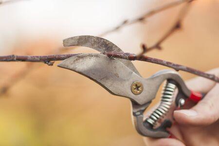 boom kappen: Het snoeien van een fruitboom - Cutting Takken in de lente Stockfoto