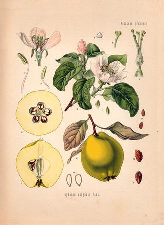quince: Antique illustration of an Quince. Koehler: Medicinal Pflanzen, Deutchland (1887)