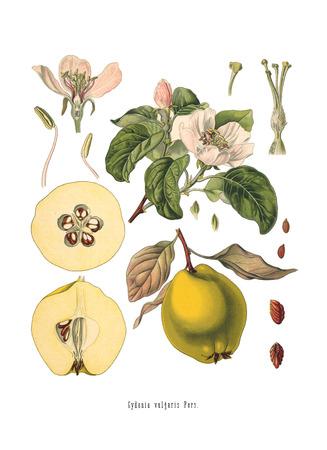 Antique illustration of an Quince. Koehler: Medicinal Pflanzen, Deutchland (1887)