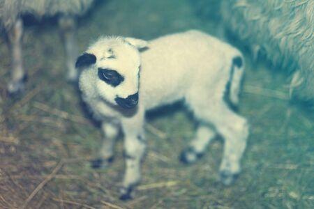 animalitos tiernos: Uno Cordero