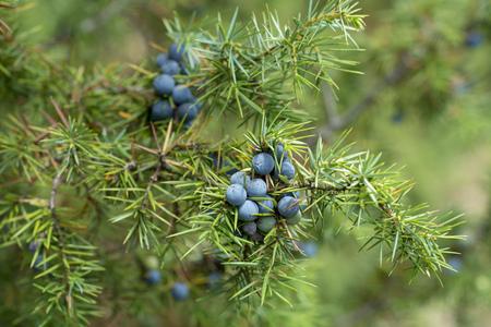 Pianta medicinale e albero sempreverde - il ginepro comune - Juniperus communis Archivio Fotografico