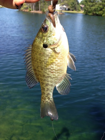 This fish was caught in a local neighborhood pond Stok Fotoğraf