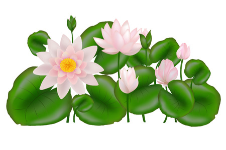 Group of Pink and white Lotus Flower or Water Lily Stock Vector - 6714316