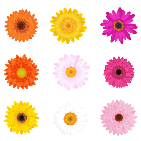 red gerber daisy: Colorful Daisies, Isolated On White Illustration