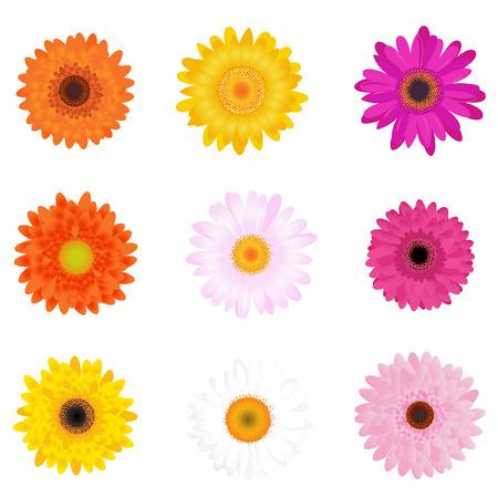 gerbera daisy: Daisies coloridos, aislados en blanco Vectores