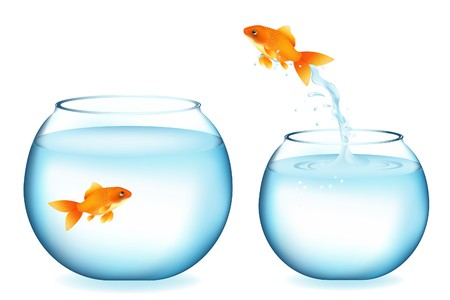 Golden Fish Jumping To Other Goldfish, Isolated On White photo
