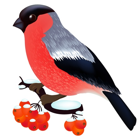 one animal: Bullfinch Sitting On the Mountain Ash Branch, Isolated On White Background, Illustration Illustration