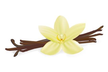 flor de vainilla: Vainas de vainilla y flor, aislado sobre fondo blanco, ilustración