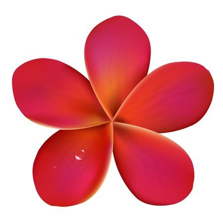 hawaiana: Frangipani rosa con gotas de agua, aisladas sobre fondo blanco, ilustración vectorial