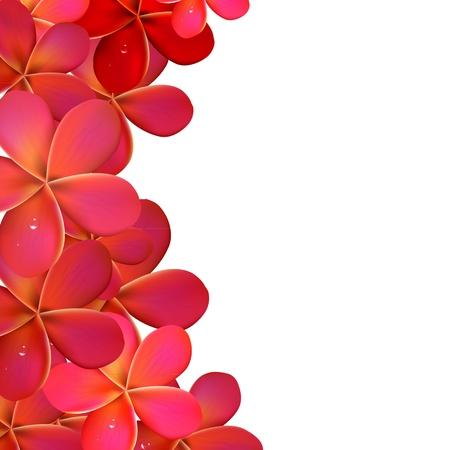 plumeria on a white background: Pink Frangipani Frame, Isolated On White Background Illustration