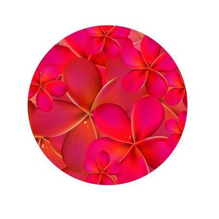 pink plumeria: Frangipani Shere, Isolated On White Background