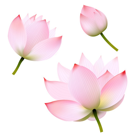 Pink Lotus With Gradient Mesh, Vector Illustration Illustration
