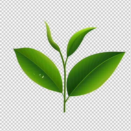 Tea Leaves In Transparent Background Gradient Mesh, Vector Illustration