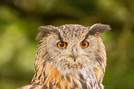 The Eurasian eagle-owl (Bubo bubo) is a species of eagle-owl that resides in much of Eurasia. It is also called the European eagle-owl and in Europe, it is occasionally abbreviated to just eagle-owl. It is one of the largest species of owl.