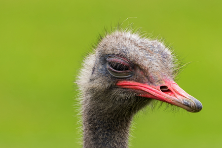 Today ostriches are only found natively in the wild in Africa.