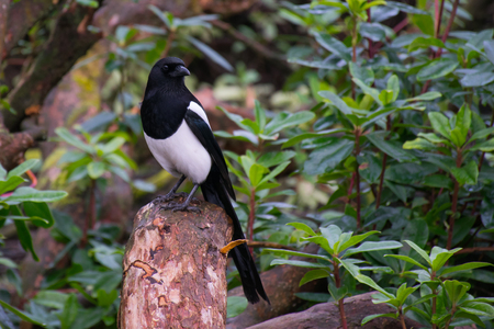 magpie sat on a tree