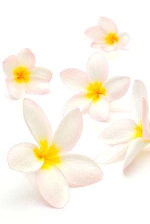 白地に美しいプルメリアのお花 写真素材