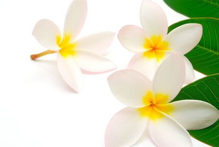 プルメリアの花と葉 写真素材