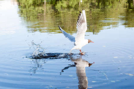 the seagulls flying over the river in clear summer day