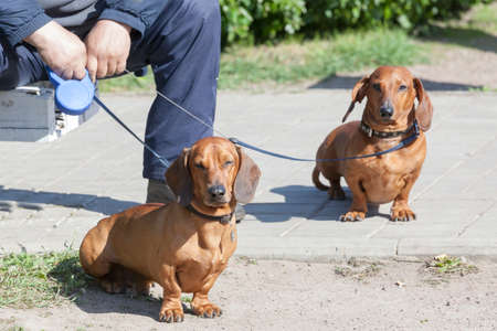 two dachshunds on a lead with the owner in summer day