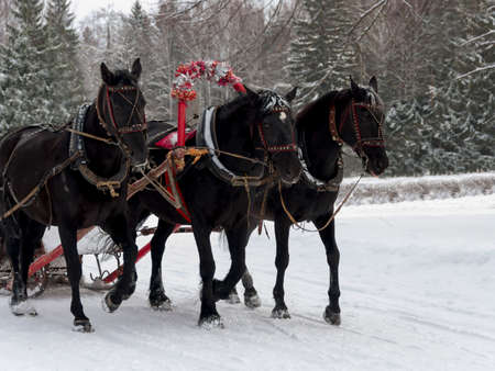 the Russian Troika of horses goes on the snow road in clear winter day