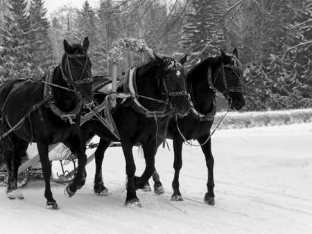 the Russian Troika of horses goes on the snow road in winter day