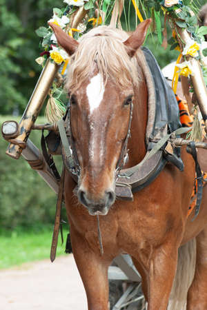 the head of the harnessed horse in the park in summer day 版權商用圖片