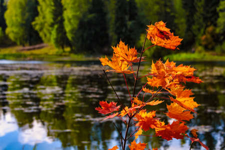 Beautiful autumn maple on the river bank on a clear autumn day Stock Photo
