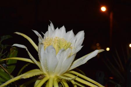 flor: Flor de Noche Stock Photo