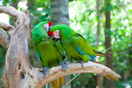 eclectus: Two Eclectus parrots sitting on a tree Stock Photo