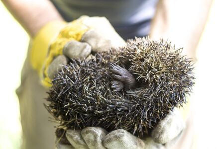 Hunched hedgehog kept in the hands in protective gloves. Reklamní fotografie